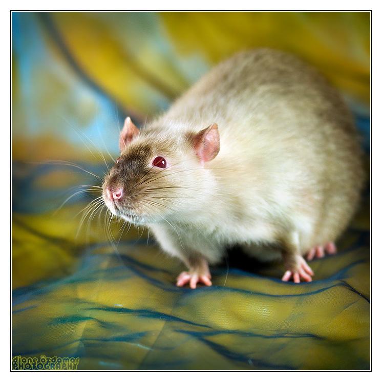[GÉNÉTIQUE]  Marquages et dilutions du rat domestique - Page 2 Siam_r10