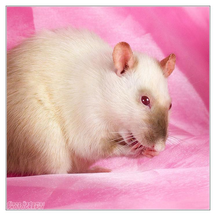 [GÉNÉTIQUE]  Marquages et dilutions du rat domestique - Page 2 Siamse10
