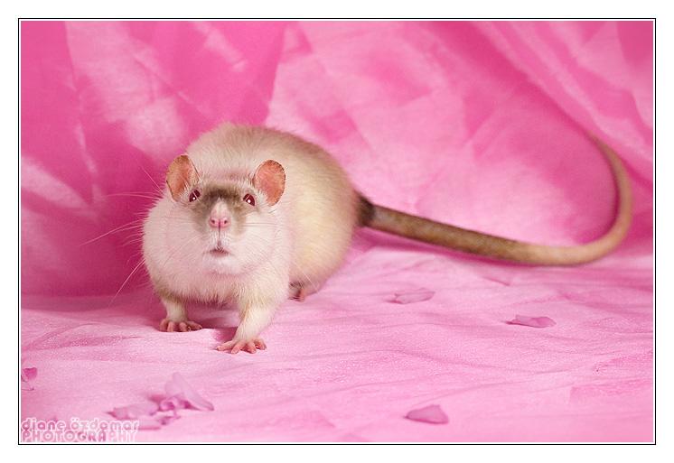 [GÉNÉTIQUE]  Marquages et dilutions du rat domestique - Page 2 Siamse11