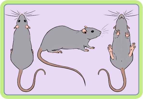 [GÉNÉTIQUE]  Marquages et dilutions du rat domestique Uni10