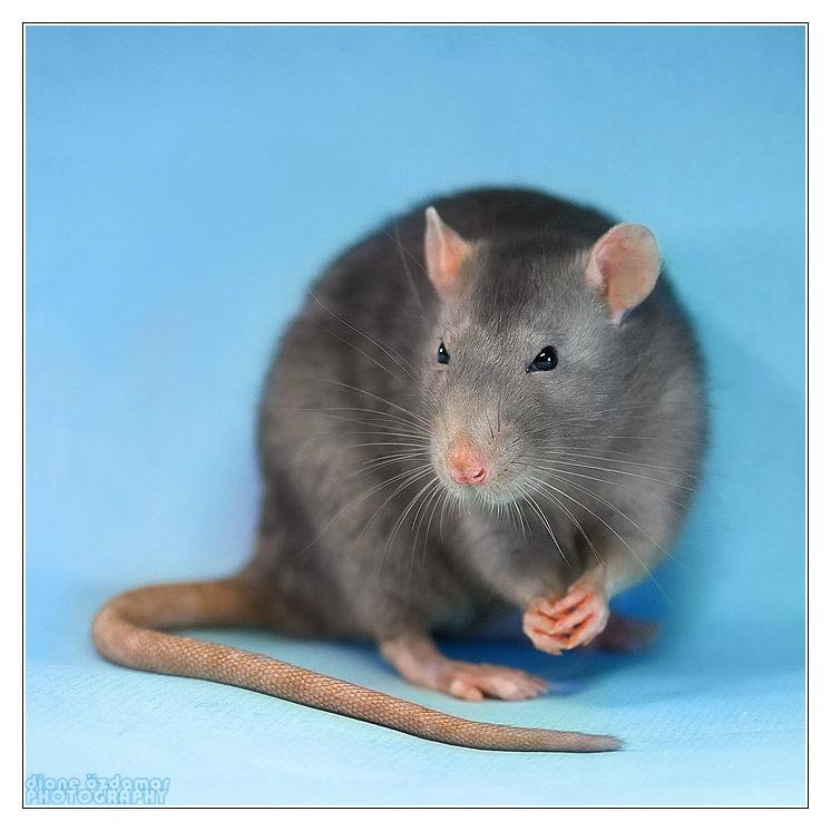 [GÉNÉTIQUE]  Marquages et dilutions du rat domestique Uni_lo10