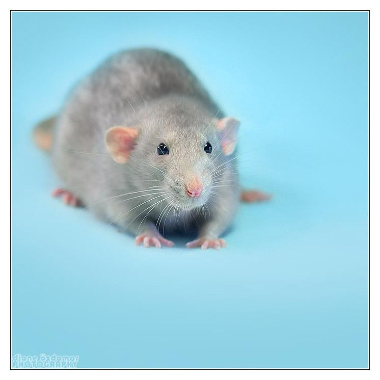 [GÉNÉTIQUE]  Marquages et dilutions du rat domestique Uni_yo10