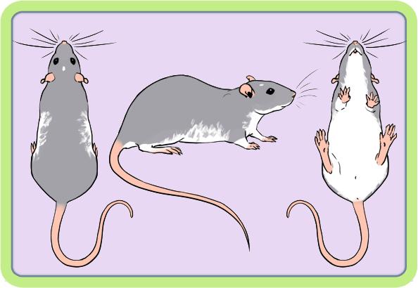 [GÉNÉTIQUE]  Marquages et dilutions du rat domestique Varibe10
