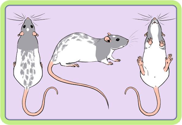 [GÉNÉTIQUE]  Marquages et dilutions du rat domestique Varieg10
