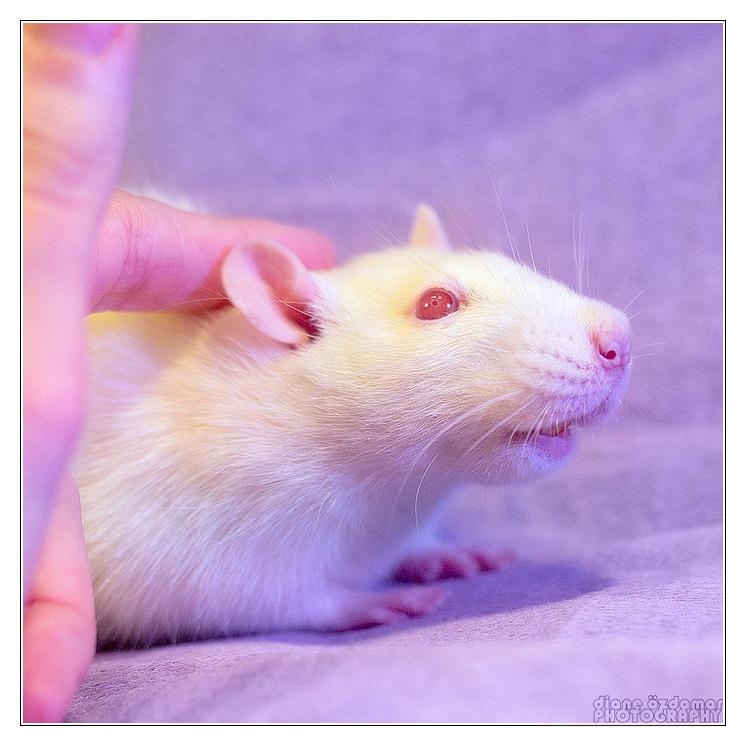 [GÉNÉTIQUE]  Types de poil, morphologie et couleurs d'yeux du rat Yeuxro10