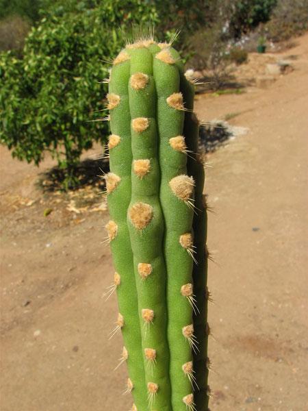 Yungasocereus inquisivensis Y_inqu14