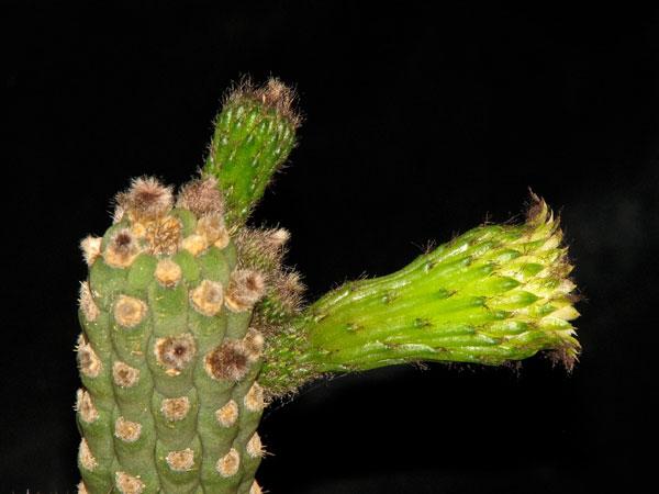 Yungasocereus inquisivensis Y_inqu16