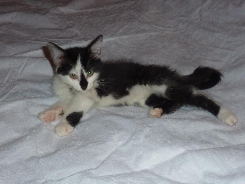 Joël, mâle, 09.2014, noir et blanc, poil mi-long P1160619