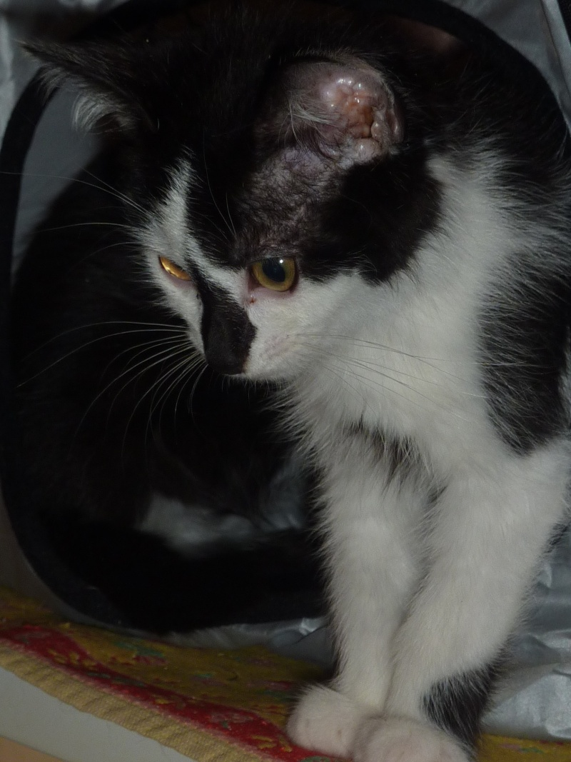 Joël, mâle, 09.2014, noir et blanc, poil mi-long P1160712