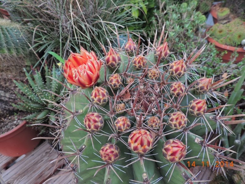 Cacti and Sukkulent in Köln, every day new flowers in the greenhouse Part 112 Bild_125