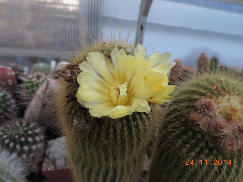 Cacti and Sukkulent in Köln, every day new flowers in the greenhouse Part 112 Bild_130