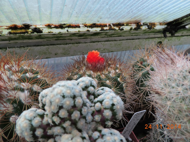 Cacti and Sukkulent in Köln, every day new flowers in the greenhouse Part 112 Bild_131