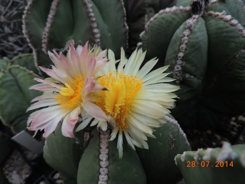 Cacti and Sukkulent in Köln, every day new flowers in the greenhouse Part 112 Bild_142