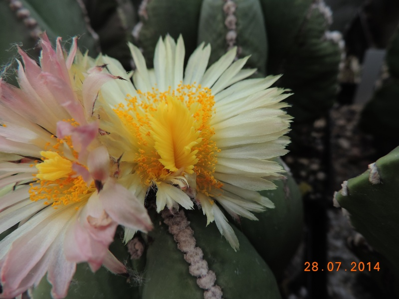 Cacti and Sukkulent in Köln, every day new flowers in the greenhouse Part 112 Bild_143