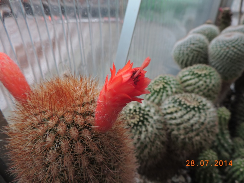 Cacti and Sukkulent in Köln, every day new flowers in the greenhouse Part 112 Bild_150