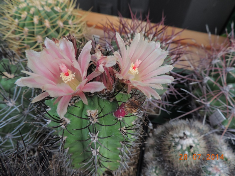 Cacti and Sukkulent in Köln, every day new flowers in the greenhouse Part 112 Bild_153