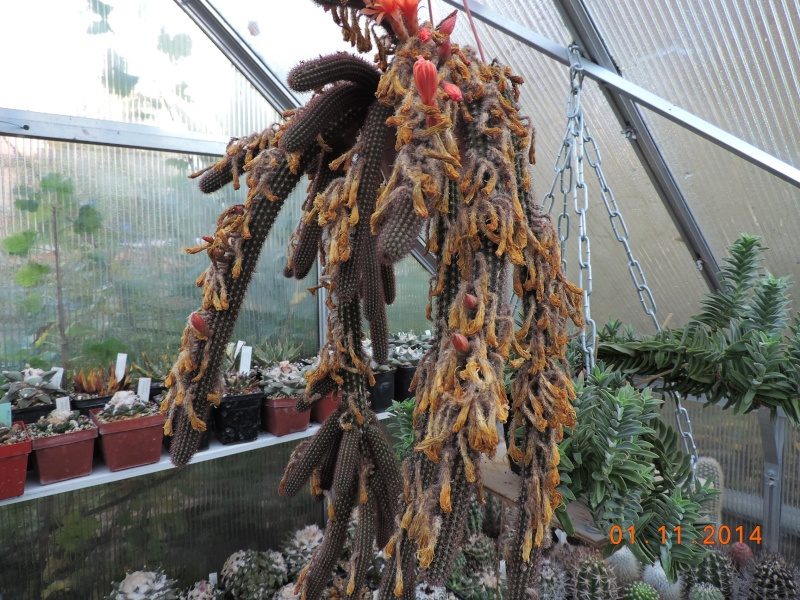 Cacti and Sukkulent in Köln, every day new flowers in the greenhouse Part 112 Bild_154