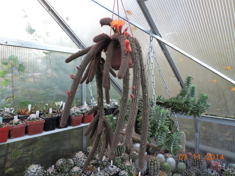 Cacti and Sukkulent in Köln, every day new flowers in the greenhouse Part 112 Bild_155