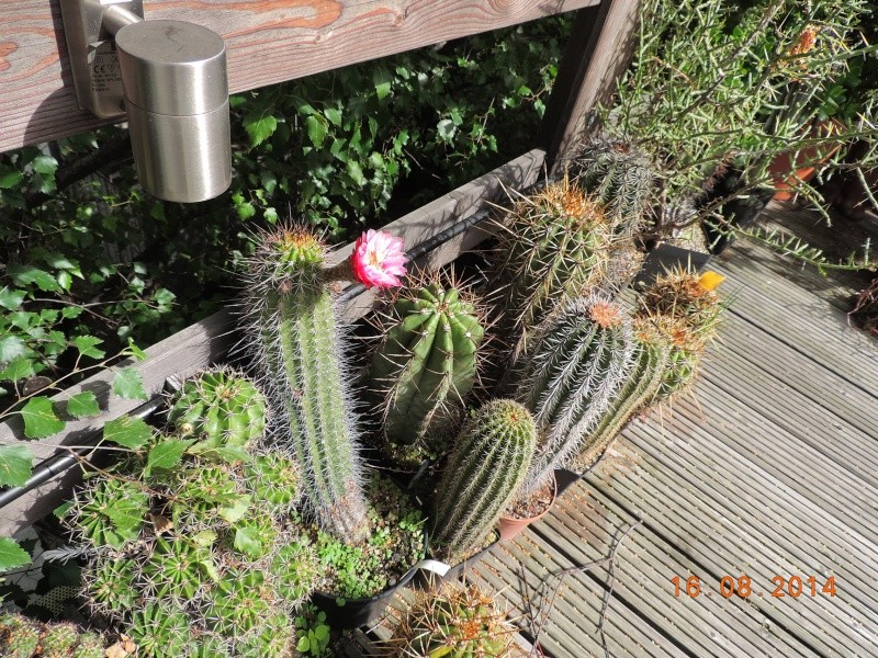 Cacti and Sukkulent in Köln, every day new flowers in the greenhouse Part 112 1/2 Bild_165