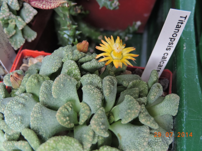 Cacti and Sukkulent in Köln, every day new flowers in the greenhouse Part 112 1/2 Bild_174