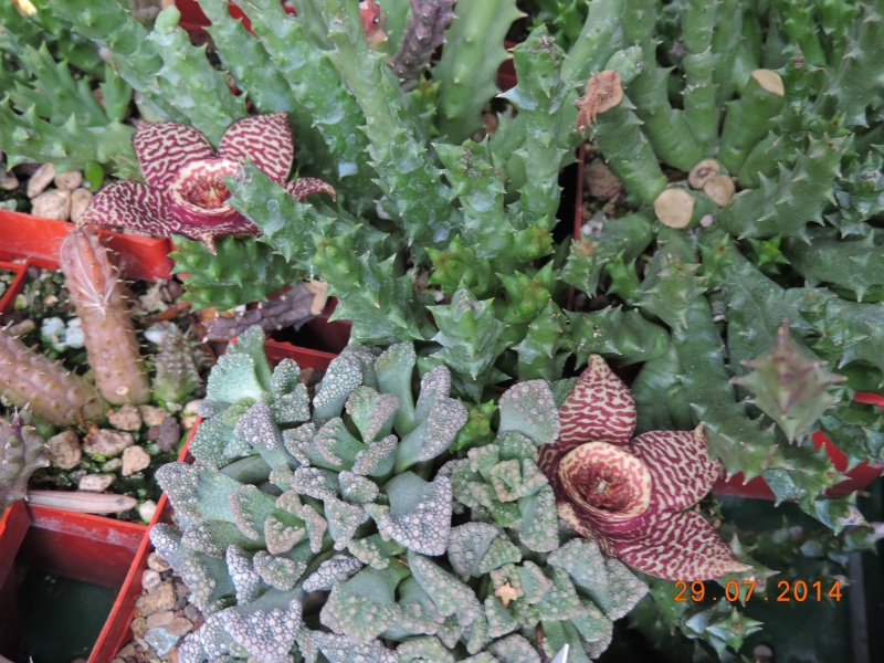 Cacti and Sukkulent in Köln, every day new flowers in the greenhouse Part 112 1/2 Bild_175