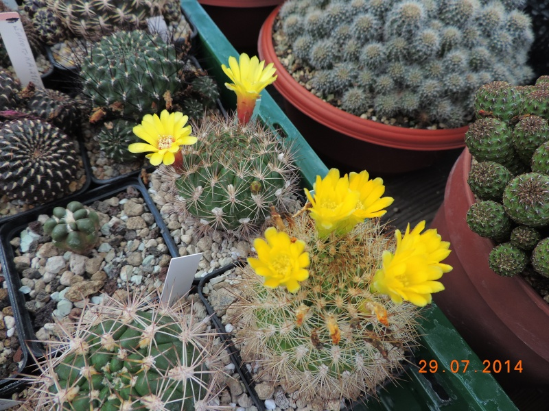 Cacti and Sukkulent in Köln, every day new flowers in the greenhouse Part 112 1/2 Bild_177