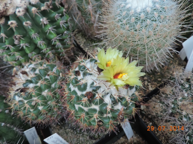 Cacti and Sukkulent in Köln, every day new flowers in the greenhouse Part 112 1/2 Bild_179