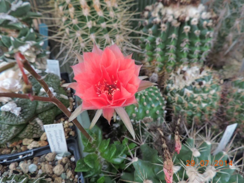 Cacti and Sukkulent in Köln, every day new flowers in the greenhouse Part 112 1/2 Bild_180