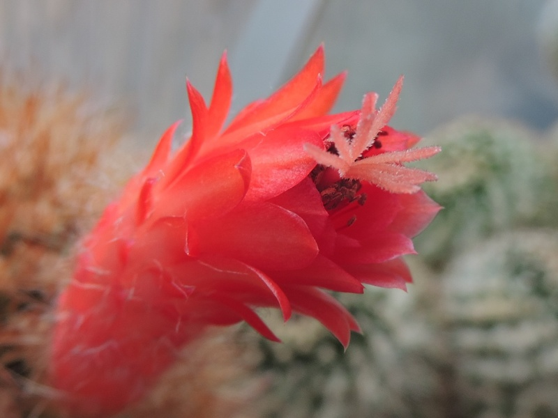 Cacti and Sukkulent in Köln, every day new flowers in the greenhouse Part 112 1/2 Bild_190