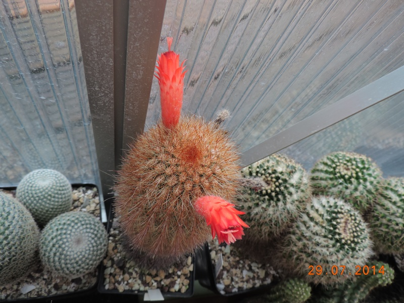 Cacti and Sukkulent in Köln, every day new flowers in the greenhouse Part 112 1/2 Bild_191