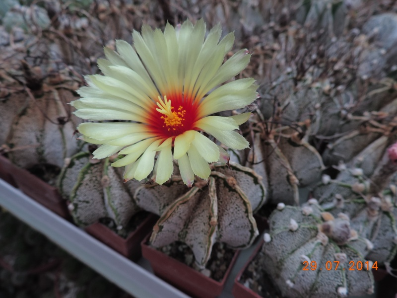 Cacti and Sukkulent in Köln, every day new flowers in the greenhouse Part 112 1/2 Bild_196