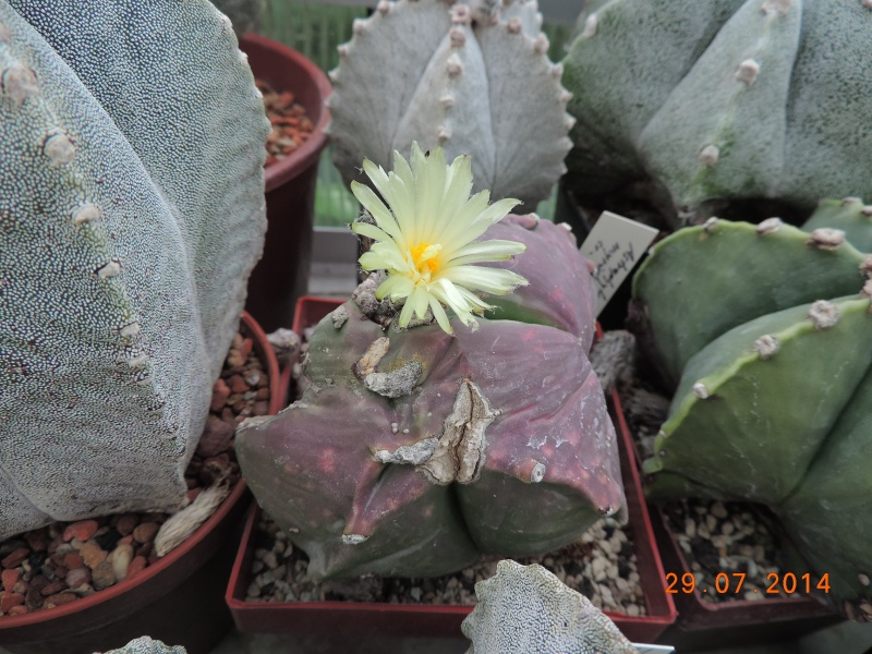 Cacti and Sukkulent in Köln, every day new flowers in the greenhouse Part 112 1/2 Bild_198