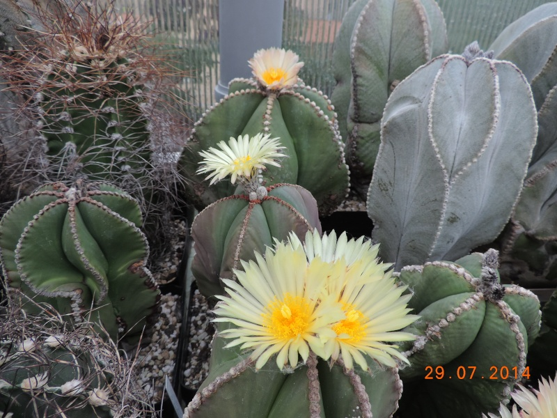 Cacti and Sukkulent in Köln, every day new flowers in the greenhouse Part 112 1/2 Bild_205