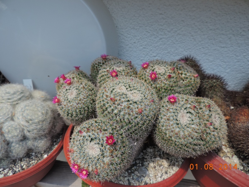 Cacti and Sukkulent in Köln, every day new flowers in the greenhouse Part 112 1/2 Bild_213