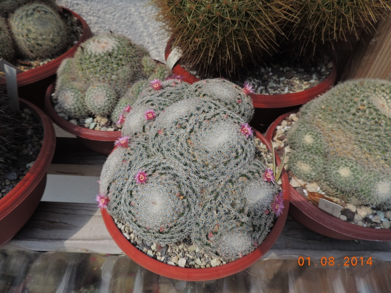 Cacti and Sukkulent in Köln, every day new flowers in the greenhouse Part 112 1/2 Bild_215