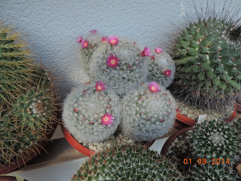 Cacti and Sukkulent in Köln, every day new flowers in the greenhouse Part 112 1/2 Bild_216