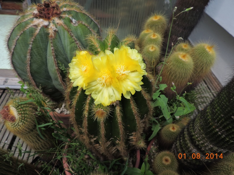 Cacti and Sukkulent in Köln, every day new flowers in the greenhouse Part 112 1/2 Bild_221