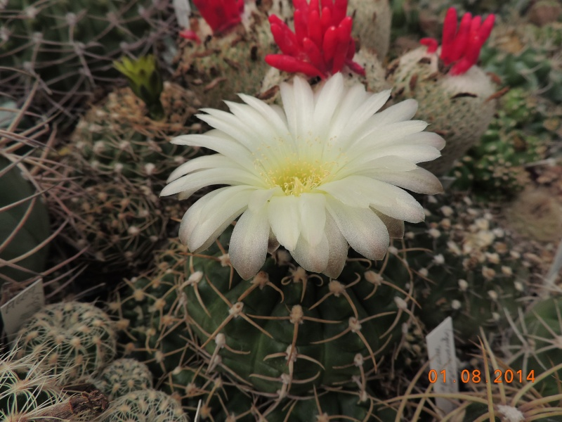 Cacti and Sukkulent in Köln, every day new flowers in the greenhouse Part 112 1/2 Bild_227
