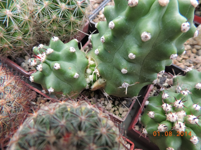 Cacti and Sukkulent in Köln, every day new flowers in the greenhouse Part 112 1/2 Bild_232