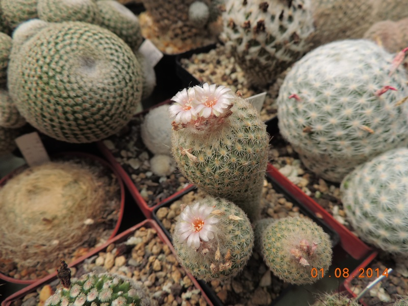 Cacti and Sukkulent in Köln, every day new flowers in the greenhouse Part 112 1/2 Bild_233