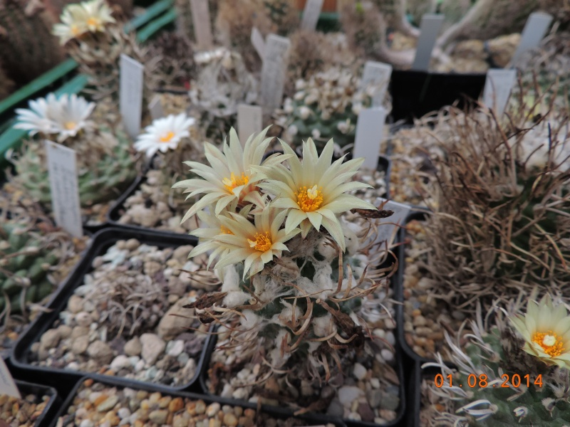 Cacti and Sukkulent in Köln, every day new flowers in the greenhouse Part 114 Bild_244