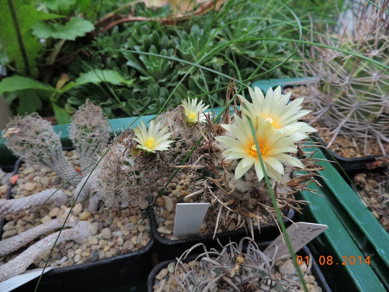 Cacti and Sukkulent in Köln, every day new flowers in the greenhouse Part 114 Bild_245