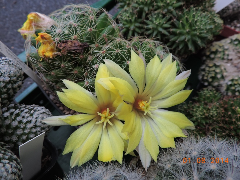 Cacti and Sukkulent in Köln, every day new flowers in the greenhouse Part 114 Bild_253