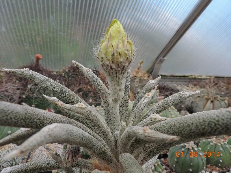 Cacti and Sukkulent in Köln, every day new flowers in the greenhouse Part 114 Bild_255