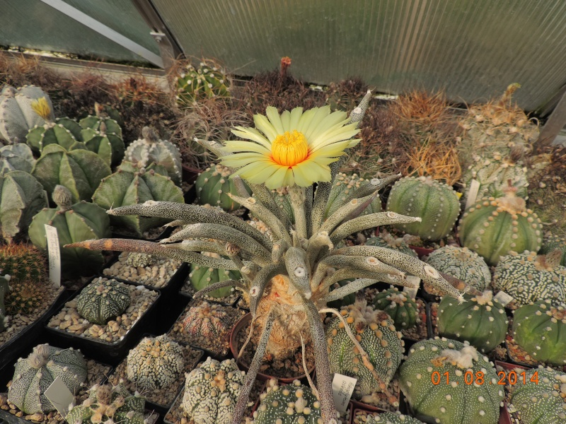 Cacti and Sukkulent in Köln, every day new flowers in the greenhouse Part 114 Bild_256