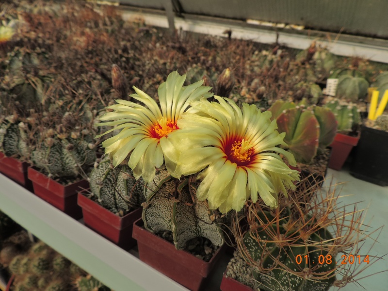 Cacti and Sukkulent in Köln, every day new flowers in the greenhouse Part 114 Bild_262