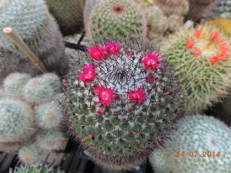 Cacti and Sukkulent in Köln, every day new flowers in the greenhouse Part 111   Bild_721