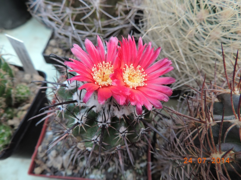 Cacti and Sukkulent in Köln, every day new flowers in the greenhouse Part 111   Bild_724