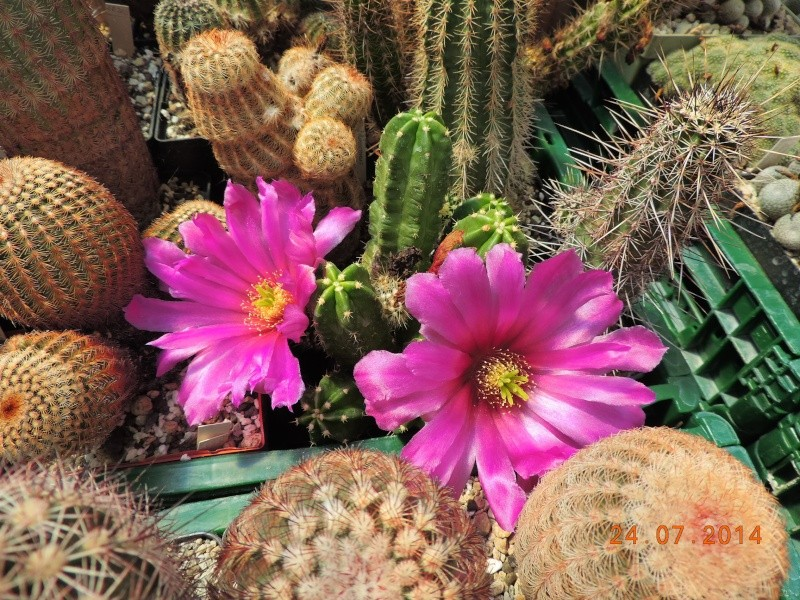 Cacti and Sukkulent in Köln, every day new flowers in the greenhouse Part 111   Bild_748