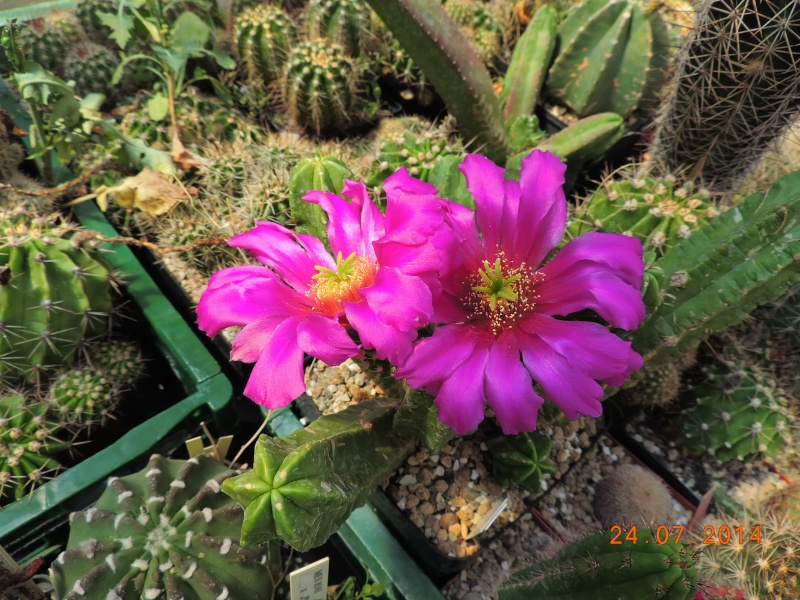 Cacti and Sukkulent in Köln, every day new flowers in the greenhouse Part 111   Bild_749